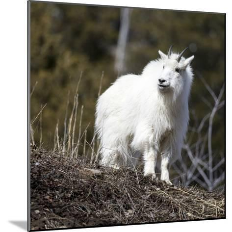 A Mountain Billy Goat Gazes Over A Ridge In The Snake River Mountains Of Wyoming-Mike Cavaroc-Mounted Photographic Print