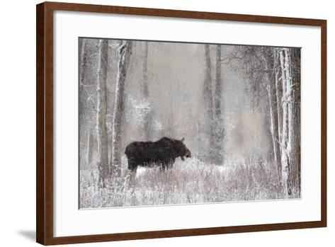 Moose Among Cottonwood And Willow Trees During A Snow Storm, Grand Teton National Park, Wyoming-Mike Cavaroc-Framed Art Print
