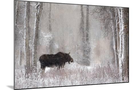 Moose Among Cottonwood And Willow Trees During A Snow Storm, Grand Teton National Park, Wyoming-Mike Cavaroc-Mounted Photographic Print
