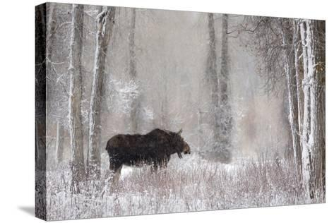 Moose Among Cottonwood And Willow Trees During A Snow Storm, Grand Teton National Park, Wyoming-Mike Cavaroc-Stretched Canvas Print