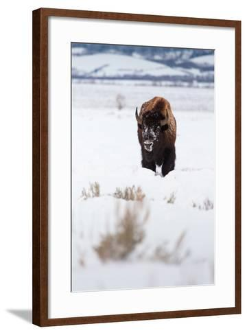 A Lone Bison Walking Through Antelope Flats Covered In Snow. Grand Teton National Park, Wyoming-Mike Cavaroc-Framed Art Print