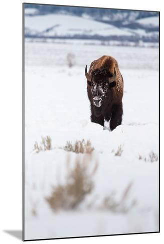 A Lone Bison Walking Through Antelope Flats Covered In Snow. Grand Teton National Park, Wyoming-Mike Cavaroc-Mounted Photographic Print