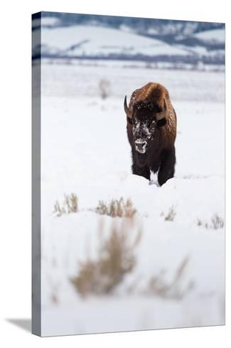 A Lone Bison Walking Through Antelope Flats Covered In Snow. Grand Teton National Park, Wyoming-Mike Cavaroc-Stretched Canvas Print
