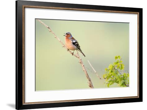 Chaffinch (Fringilla Coelebs) Male Perched On Branch And Singing. Central Balkan NP. Bulgaria-Oscar Dominguez-Framed Art Print