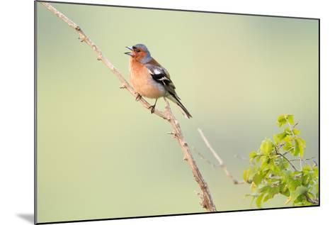 Chaffinch (Fringilla Coelebs) Male Perched On Branch And Singing. Central Balkan NP. Bulgaria-Oscar Dominguez-Mounted Photographic Print