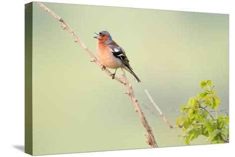 Chaffinch (Fringilla Coelebs) Male Perched On Branch And Singing. Central Balkan NP. Bulgaria-Oscar Dominguez-Stretched Canvas Print
