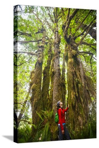 Woman Admires Massive, Ancient Maple Tree Along Bogachiel Rain Forest Trail #825 In The Olympic NP-Ben Herndon-Stretched Canvas Print