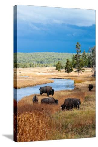 Bison Near Nez Perce Creek On A Stormy Day In Yellowstone National Park In Autumn-Ben Herndon-Stretched Canvas Print