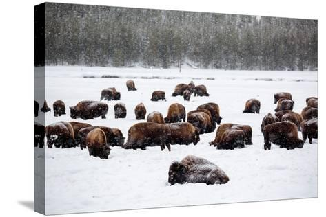 Snowy Bison Graze During A Light Snow Fall At Yellowstone National Park In Winter-Ben Herndon-Stretched Canvas Print