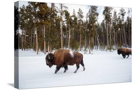 Bison In Yellowstone National Park In Winter-Ben Herndon-Stretched Canvas Print