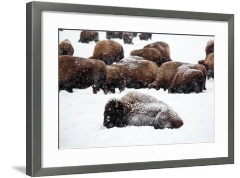 Snowy Bison Graze During A Light Snow Fall At Yellowstone National Park In Winter-Ben Herndon-Framed Art Print