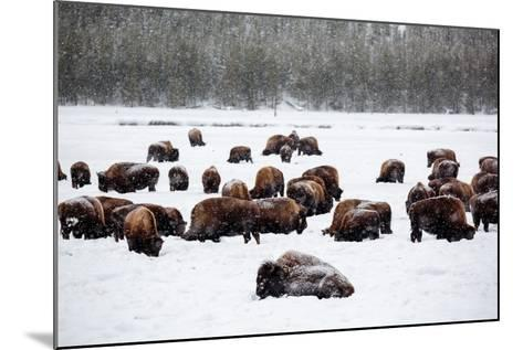 Snowy Bison Graze During A Light Snow Fall At Yellowstone National Park In Winter-Ben Herndon-Mounted Photographic Print