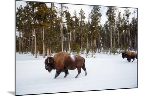 Bison In Yellowstone National Park In Winter-Ben Herndon-Mounted Photographic Print