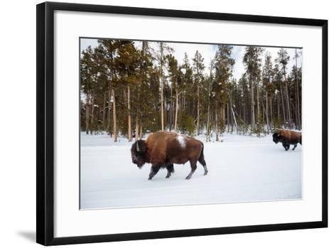 Bison In Yellowstone National Park In Winter-Ben Herndon-Framed Art Print