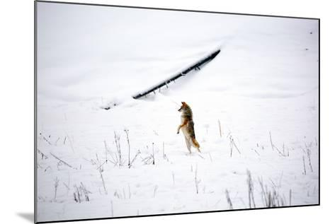 A Curious Coyote Looks For Its Mate By Standing On Its Legs In Yellowstone National Park In Winter-Ben Herndon-Mounted Photographic Print