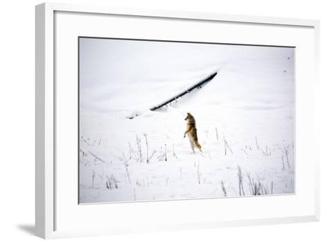 A Curious Coyote Looks For Its Mate By Standing On Its Legs In Yellowstone National Park In Winter-Ben Herndon-Framed Art Print