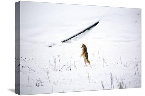 A Curious Coyote Looks For Its Mate By Standing On Its Legs In Yellowstone National Park In Winter-Ben Herndon-Stretched Canvas Print