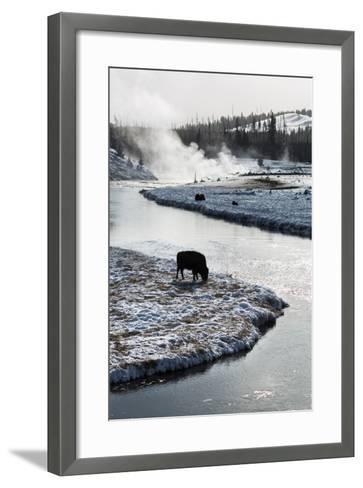 Bison Graze Along The Madison River In Yellowstone National Park In Winter-Ben Herndon-Framed Art Print