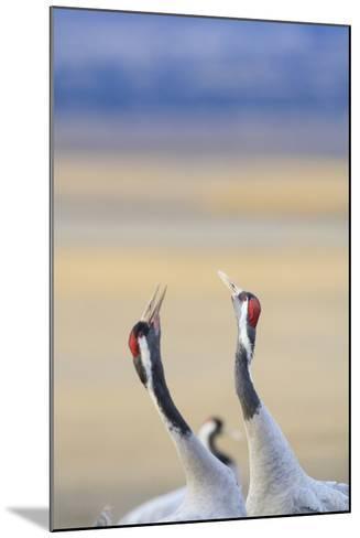 Eurasian/Common Crane (Grus Grus) Pair. Gallocanta Lagoon. Zaragoza Province. Aragon. Spain-Oscar Dominguez-Mounted Photographic Print