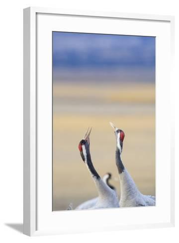Eurasian/Common Crane (Grus Grus) Pair. Gallocanta Lagoon. Zaragoza Province. Aragon. Spain-Oscar Dominguez-Framed Art Print