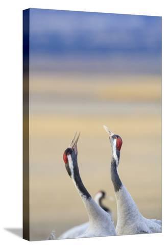 Eurasian/Common Crane (Grus Grus) Pair. Gallocanta Lagoon. Zaragoza Province. Aragon. Spain-Oscar Dominguez-Stretched Canvas Print