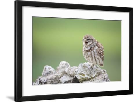 Little Owl (Athene Noctua) Calling From Stones. Lleida Province. Catalonia. Spain-Oscar Dominguez-Framed Art Print
