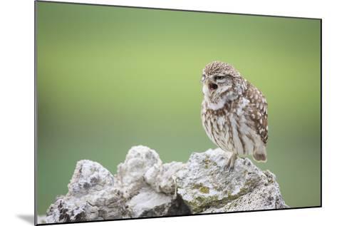 Little Owl (Athene Noctua) Calling From Stones. Lleida Province. Catalonia. Spain-Oscar Dominguez-Mounted Photographic Print