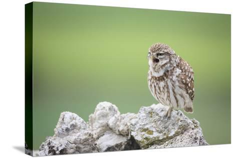Little Owl (Athene Noctua) Calling From Stones. Lleida Province. Catalonia. Spain-Oscar Dominguez-Stretched Canvas Print