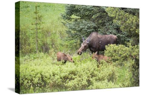 Moose Cow Caring For Her Twins, Yellowstone National Park, Wyoming-Mike Cavaroc-Stretched Canvas Print