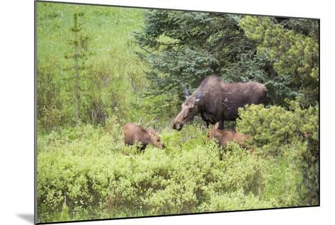 Moose Cow Caring For Her Twins, Yellowstone National Park, Wyoming-Mike Cavaroc-Mounted Photographic Print