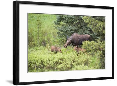 Moose Cow Caring For Her Twins, Yellowstone National Park, Wyoming-Mike Cavaroc-Framed Art Print