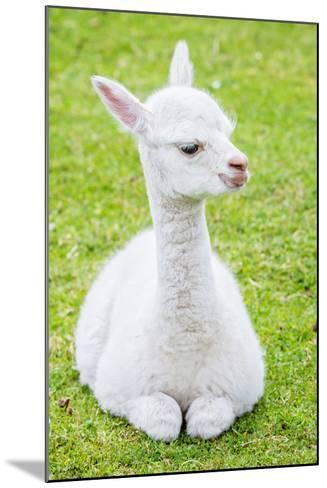 Cute Baby Alpaca- sinagrafie-Mounted Photographic Print
