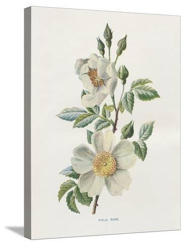 Field Rose-Gwendolyn Babbitt-Stretched Canvas Print