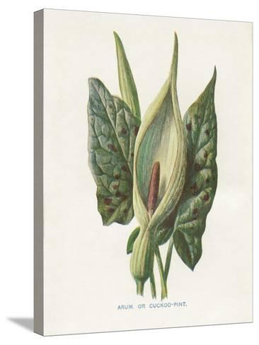 Green Arum-Gwendolyn Babbitt-Stretched Canvas Print