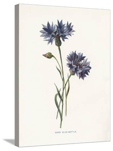 Corn Blue-Bottle-Gwendolyn Babbitt-Stretched Canvas Print