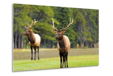 Male Elk or Wapiti (Cervus Canadensis) near Cascade Pond in Banff National Park Alberta Canada-Steve Meese-Metal Print