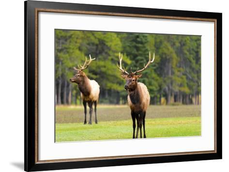 Male Elk or Wapiti (Cervus Canadensis) near Cascade Pond in Banff National Park Alberta Canada-Steve Meese-Framed Art Print