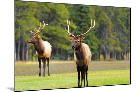 Male Elk or Wapiti (Cervus Canadensis) near Cascade Pond in Banff National Park Alberta Canada-Steve Meese-Mounted Photographic Print