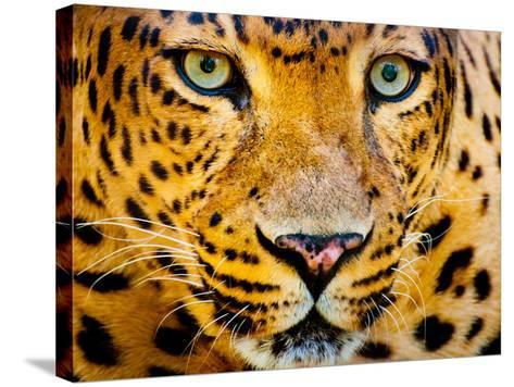Close up Portrait of Leopard with Intense Eyes-Rob Hainer-Stretched Canvas Print