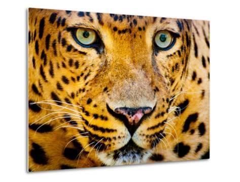 Close up Portrait of Leopard with Intense Eyes-Rob Hainer-Metal Print