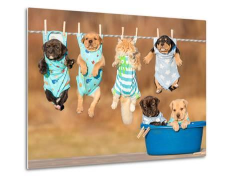 Funny Group of American Staffordshire Terrier Puppies with Little Red Cat Hanging on a Clothesline-Grigorita Ko-Metal Print