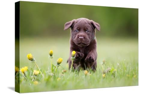 Young Puppy of Brown Labrador Retriever Dog Photographed Outdoors on Grass in Garden.-Mikkel Bigandt-Stretched Canvas Print