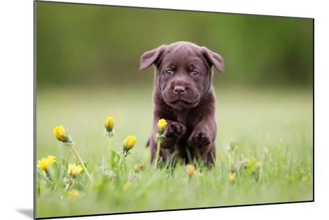 Young Puppy of Brown Labrador Retriever Dog Photographed Outdoors on Grass in Garden.-Mikkel Bigandt-Mounted Photographic Print