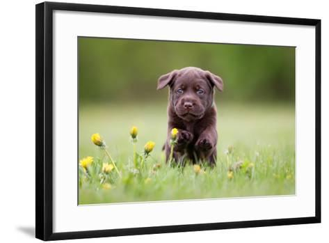 Young Puppy of Brown Labrador Retriever Dog Photographed Outdoors on Grass in Garden.-Mikkel Bigandt-Framed Art Print