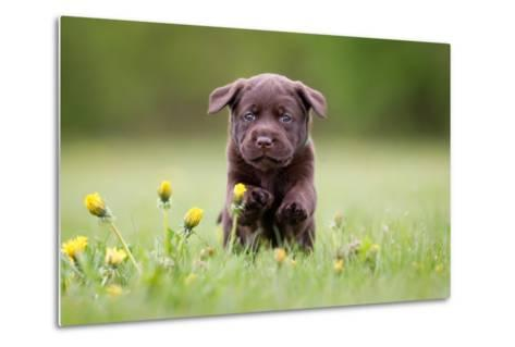 Young Puppy of Brown Labrador Retriever Dog Photographed Outdoors on Grass in Garden.-Mikkel Bigandt-Metal Print
