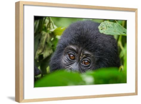 Portrait of a Mountain Gorilla. Uganda. Bwindi Impenetrable Forest National Park. an Excellent Illu-GUDKOV ANDREY-Framed Art Print