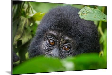 Portrait of a Mountain Gorilla. Uganda. Bwindi Impenetrable Forest National Park. an Excellent Illu-GUDKOV ANDREY-Mounted Photographic Print