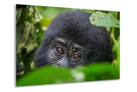 Portrait of a Mountain Gorilla. Uganda. Bwindi Impenetrable Forest National Park. an Excellent Illu-GUDKOV ANDREY-Metal Print