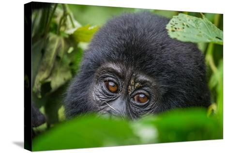 Portrait of a Mountain Gorilla. Uganda. Bwindi Impenetrable Forest National Park. an Excellent Illu-GUDKOV ANDREY-Stretched Canvas Print