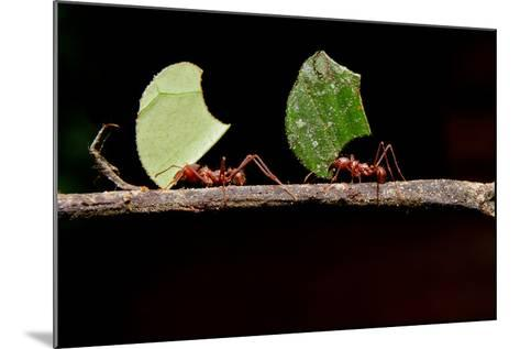 Leaf Cutter Ants, Carrying Leaf, Black Background.- Fotos593-Mounted Photographic Print